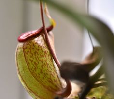 n ventricosa x inermis #carnivorous #carnivores #carnivoroustagram #carnivorousplants #carnivorousplant #pitcherplant #nepenthes #nepenthesinermis #nepenthesventricosa #pitcher #plant #plants #plantstagram #식충식물 #네펜데스 #식물 #nikon #nikonphotography by hsb5024