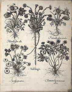 Hortus Eystettensis, sive, Diligens et accurata omnium plantarum, florum, stirpium :.  [Nürnberg? :s.n.],1640.
