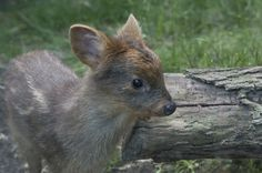 A rare Southern Pudu, the world's smallest species of deer, was born at the Wildlife Conservation Society's (WCS) Queens Zoo in New York.  The young doe weighed just one pound at her birth on July 8th! See the full story at ZooBorns: http://www.zooborns.com/zooborns/2013/07/one-pound-pudu-fawn-born-at-queens-zoo.html