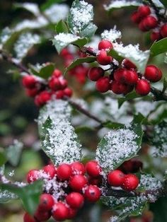 Winter frost in the Holly