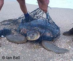 There are seven different kinds of sea turtle living in our earth's oceans, and of these seven , six species are either threatened or endangered.    Fishing nets pose as a great threat to the Olive Ridley Sea Turtle.