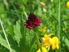 Sangele voinicului Nigritella rubra si Nigritella nigra During The Summer, Romania, Life, Outdoor, Plant, Outdoors, The Great Outdoors