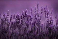 Image result for lavender wallpaper