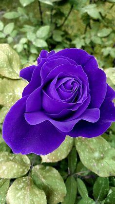 Beautiful Roses, Most Beautiful, Colourful Wallpaper Iphone, Purple Flowers, Flower Power, Flora, Bouquet, Colours, Beauty