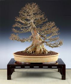 Great trident maple