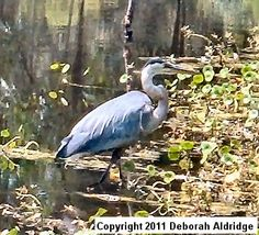 Great blue heron on the pond behind my apartment in Gainesville. I miss the pond. I don't miss the apartment. Copyright 2012 Deborah Aldridge all rights reserved.