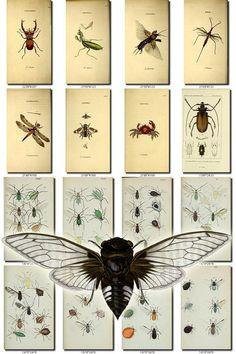 INSECTS-50 Collection of 200 vintage illustrations Cicada Acarus, Acidalia, Acuta, Aleurodes, Alurnus, Amycla, Ancistrotus, Anisophleba, Anisotoma, Anoecia, Anthomyia, Anthrax, Aphaenops, Aphis, Apion, Apis, Aranea, Armadillidium Vulgare, Asilus, Asylus, Attelabus, Bees, Bibio, Blatta, Bombylius, Bombyx, Branchipus, Bruchus, Buprestis, Byrrhus, Calathus, Callicnemis, Callipterus, Calyptomerus, Cancer, Cantheris, Capnodis, Carabus, Cassida, Caterpillar, C