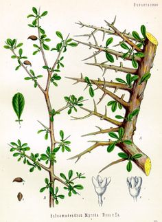 Balsamodendron Myrrha, or Commiphora tree, also known as Myrrh tree, which grows still in Ethiopia, Somalia, and Yemen; botanical art.