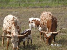 Texas Longhorns Cattle Herds   the S&H Ranch Longhorn web page. We bought our first three longhorns ...