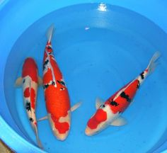 Looking for the Best Koi For Sale? Kloubec Koi Farm Breeds Top Quality Japanese Koi fish for sale In Many Varieties. Click Now To Buy Koi From The Breeder! Koi Fish For Sale, Japanese Koi, Ponds, Gardens, Outdoor Gardens, Garden, House Gardens, Water Feature