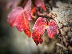 red leaves - OLYMPUS DIGITAL CAMERA