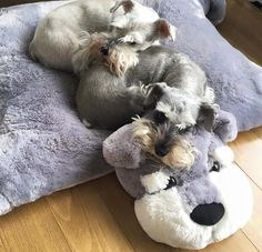 Schnauzers resting on their schnauzer pillow. How cute