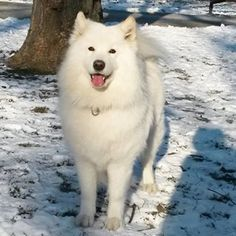 They're probably the happiest little clouds you'll ever see. | 18 Pictures That Prove Samoyeds Are Just Perfect, Fluffy Clouds