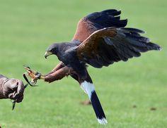 Alfie Hall, aged two, attacked by a Harris Hawk bird of prey in play area in Farnborough in England Unusual News, Bizarre News, Types Of Eagles, Pet Dogs, Dog Cat, Harris Hawk, Hawk Bird, Weird Pictures, Birds Of Prey