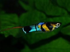 Great coloring on him! I wonder if he breeds true, that would make beautiful fry.