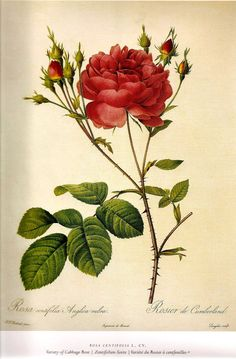 redoute rose - Google Search