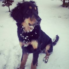 My dog :** hovawart