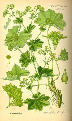 Alchemilla Mollis - Family Rosaceae - Common Name - Ladies Mantle. Lady's mantle benefits include treating muscle spasms, swelling and inflammation, digestive problems, water retention, mild diarrhea, and diabetes.