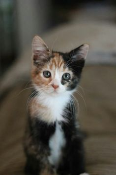 calico cat Five facts about calico cats Cute Cats And Kittens, I Love Cats, Crazy Cats, Kittens Cutest, Ragdoll Kittens, Bengal Cats, Siamese Cat, Pretty Cats, Pets