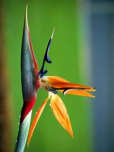 Can You Grow Birds of Paradise Plants Indoors?