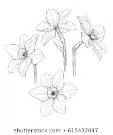 Five Things That You Never Expect On Narcissus Flower Black And White Narcissus Flower Bla Flower Drawing Pencil Drawings Of Flowers Narcissus Flower Tattoos