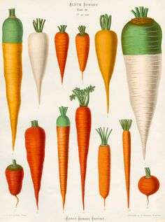 A Chromolithograph plate of Carrot varieties taken from the Album Benary. The Album contains 28 colour plates in total of vegetable varieties by Ernst Benary which are named in the accompanying page in German, English, French and Russian. Creator: Benary, Ernst (1819-1893). Date: 1876