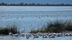 A flock of pelicans feeding near the opening of Agency Lake.