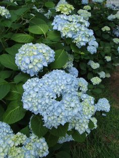 Endless Summer Hydrangea in mid May our garden 2012