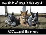 Dogs Blue Heeler | Cute Animals #dog