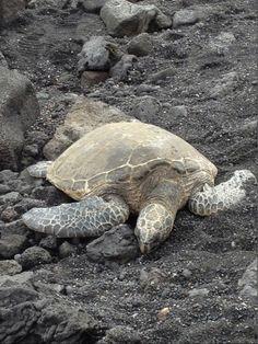 Sea turtle nesting on black beach in Hawaii