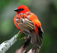 Red Fody (Red Cardinal Fody, Common Fody) -  Native to Madagascar and found in forest clearings, grasslands and cultivated areas