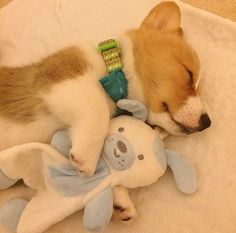 The dog will be calm in regards to the home, normally, for as long as they've been exercised. This may be confusing initially, but when the dog barks, quickly reward them with the treat Cute Corgi, Cute Puppies, Dogs And Puppies, Corgi Puppies, Dog Love, Puppy Love, Animals And Pets, Baby Animals, Corgi Husky