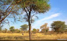 Al Dinder National Park, Sudan  محمية الدندر القومية    #sudan #dindernationalpark #dinder