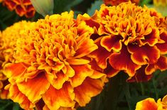 Buy marigold attar online in a secure way at Meena Perfumery - the most trusted and top notch perfume brand offering you a host of attars and oils. Summer Bedding Plants, Sunken Garden, Hardy Plants, Beautiful Waterfalls, Marigold, Honeycomb, House Plants, Planting Flowers, Seeds