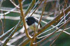 A beautiful little tomtit #bird taken by Paul Vandenberg on The Sledge Track #hiking #trail near #Palmerston North, #NZ #newzealand #blog #thecountryroad