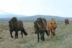 Island-Pferde in freier Natur