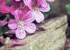 Pink flowers with a stone photo fine art by SeaBreezePhoto on Etsy