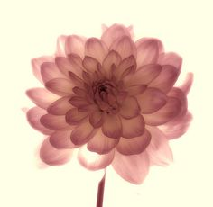 Dahlia - i want this as a tattoo. @Hannah Mestel Mestel Ruth how cute would that be?