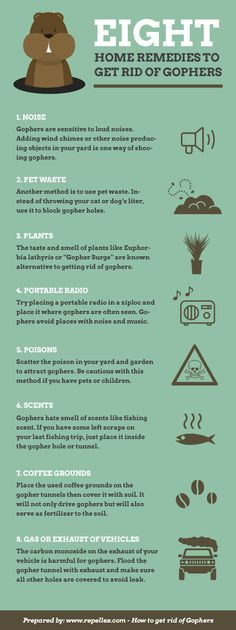 How to get rid of gophers? There are several home remedies to drive gophers out from your garden and protect your hundreds of dollars worth of plantation. Let's have a look.