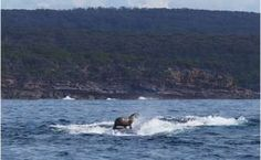Photograph of seal riding whale in Australia