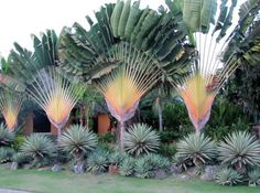 Ravenala madagascariensis, commonly known as traveller's tree or traveller's palm, is a species of plant from Madagascar. It is not a true palm (family Arecaceae) but a member of a monocotyledonous flowering plant family, Strelitziaceae.