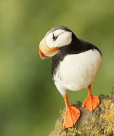 Horned Puffin His Brothers Are Atlantic Puffins And Tufted Puff