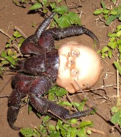 """kant: """" sepiachord: """"Hermit crab using a discarded doll head for a shell """" this is definitely the most cursed thing ive seen """" Coconut Crab, Scary Dolls, Creepy Photos, Doll Head, Doll Face, Nature Photos, Decir No, Funny Animals, Mother Nature"""
