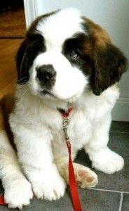 Conoce por qué el San Bernardo es el mejor perro para los niños... en www.animalcare.com.mx/blog