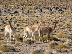 Vicuña (Vicugna vicugna)  Image by Cristián Rebolledo - http://www.flickr.com/people/cristianrebolledo/