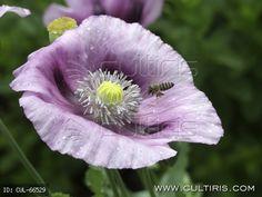 Mákvirág és méh. A kerti mák (Papaver somniferum) mediterrán származású kultúrnövény. Tejnedve 25-féle alkaloidot tartalmaz. Fehér virágú vá... Flowers, Plants, Plant, Royal Icing Flowers, Flower, Florals, Floral, Planets, Blossoms