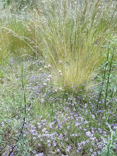 Deschampsia cespitosa in bloom Alchemilla Mollis, Shade Tolerant Plants, Purple Candles, Mojave Desert, Astilbe, How To Attract Birds, Native Plants, Geraniums, Botanical Gardens