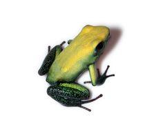 Poison Dart Frogs   by Aliaaaaa