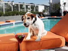 """Jack Russell terrier living """"the good life""""."""