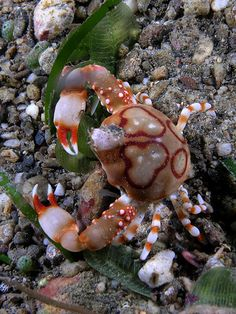 (Repinned) Pebble Crab - wonderful camouflage. Wow Gods creations are absolutely gorgeous